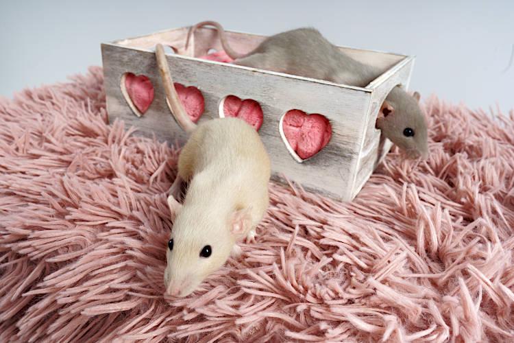 czy szczury to chorowite zwierzęta