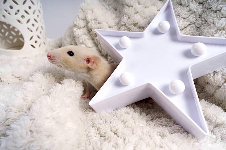 Jak nauczyć szczura korzystania z kuwety