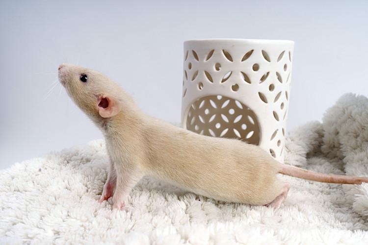 język ciała szczurów