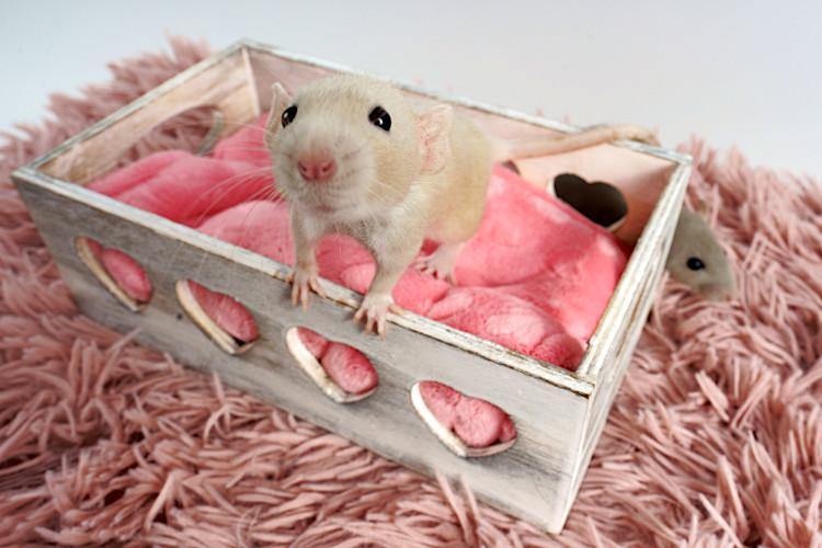potrzeby szczura