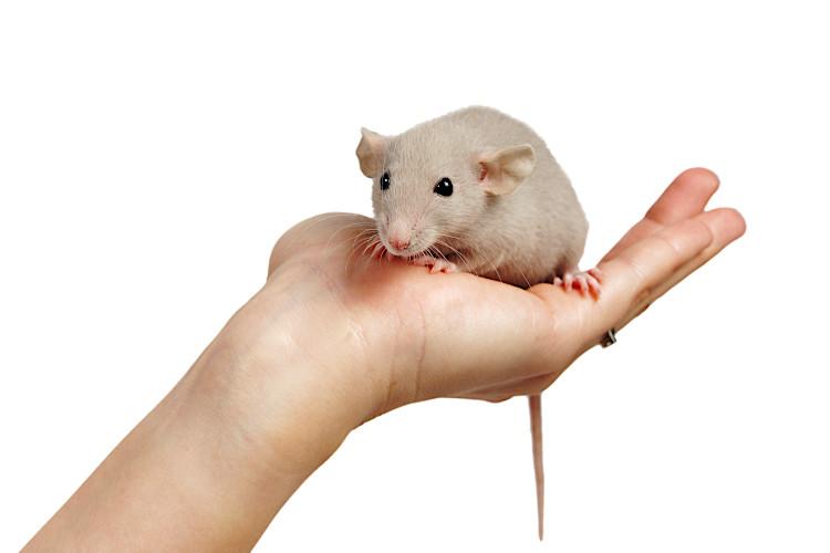 szczurze zachowania