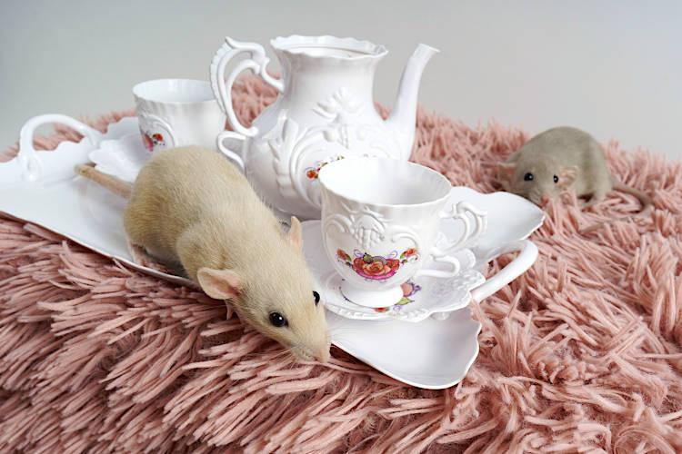 żywienie szczura